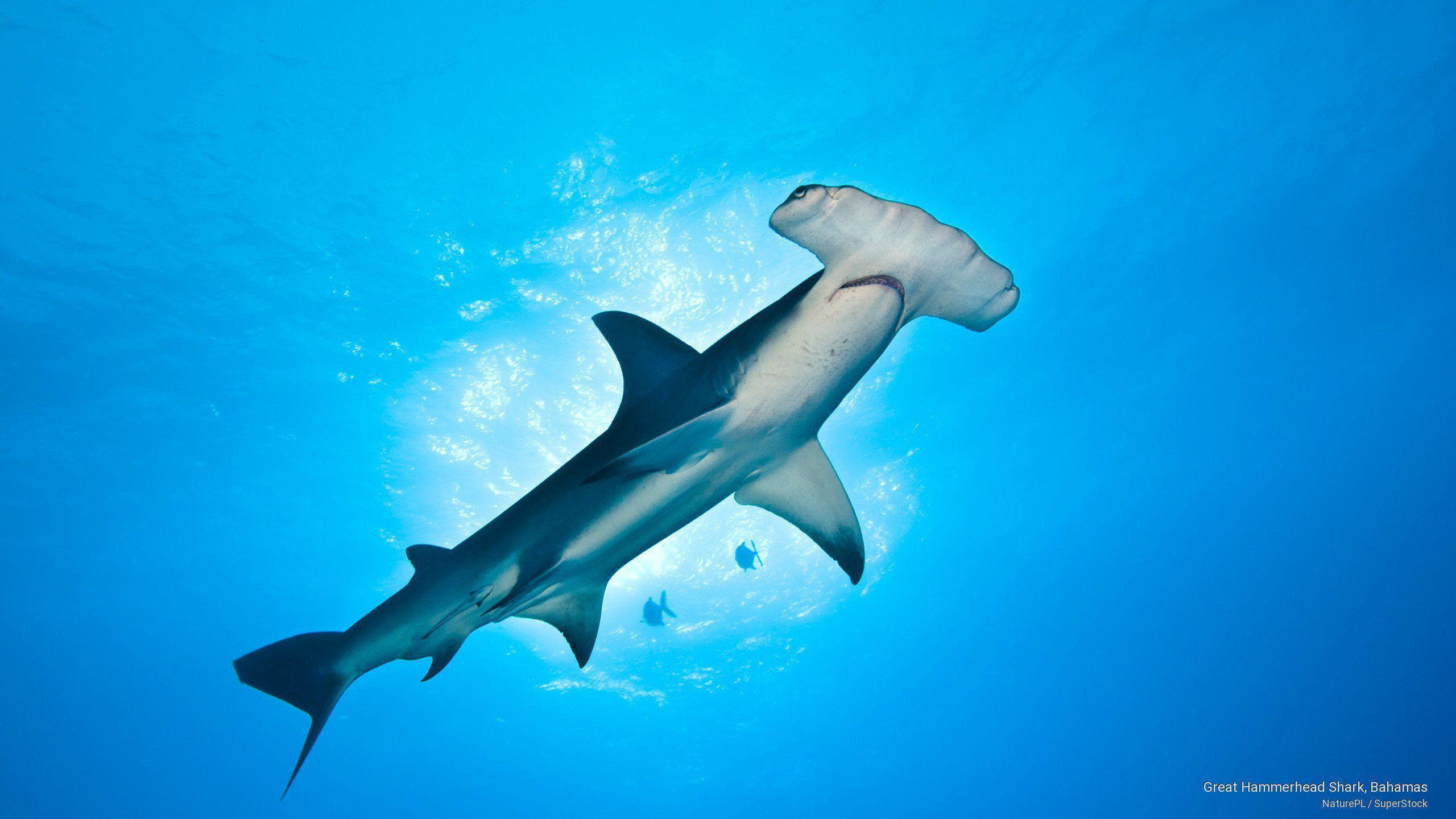 Hammerhead Sharks Wallpapers