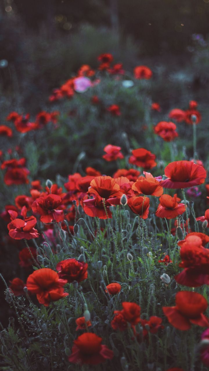 4k picture full hq>, 1856x1161 aesthetic desktop. Aesthetic Red Flower Field Wallpapers - Wallpaper Cave