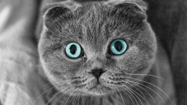 Scottish Fold Cat Blue Eyes HD Wallpaper - WallpaperFX