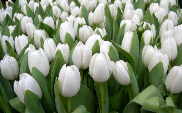 White Tulips HD Wallpapers