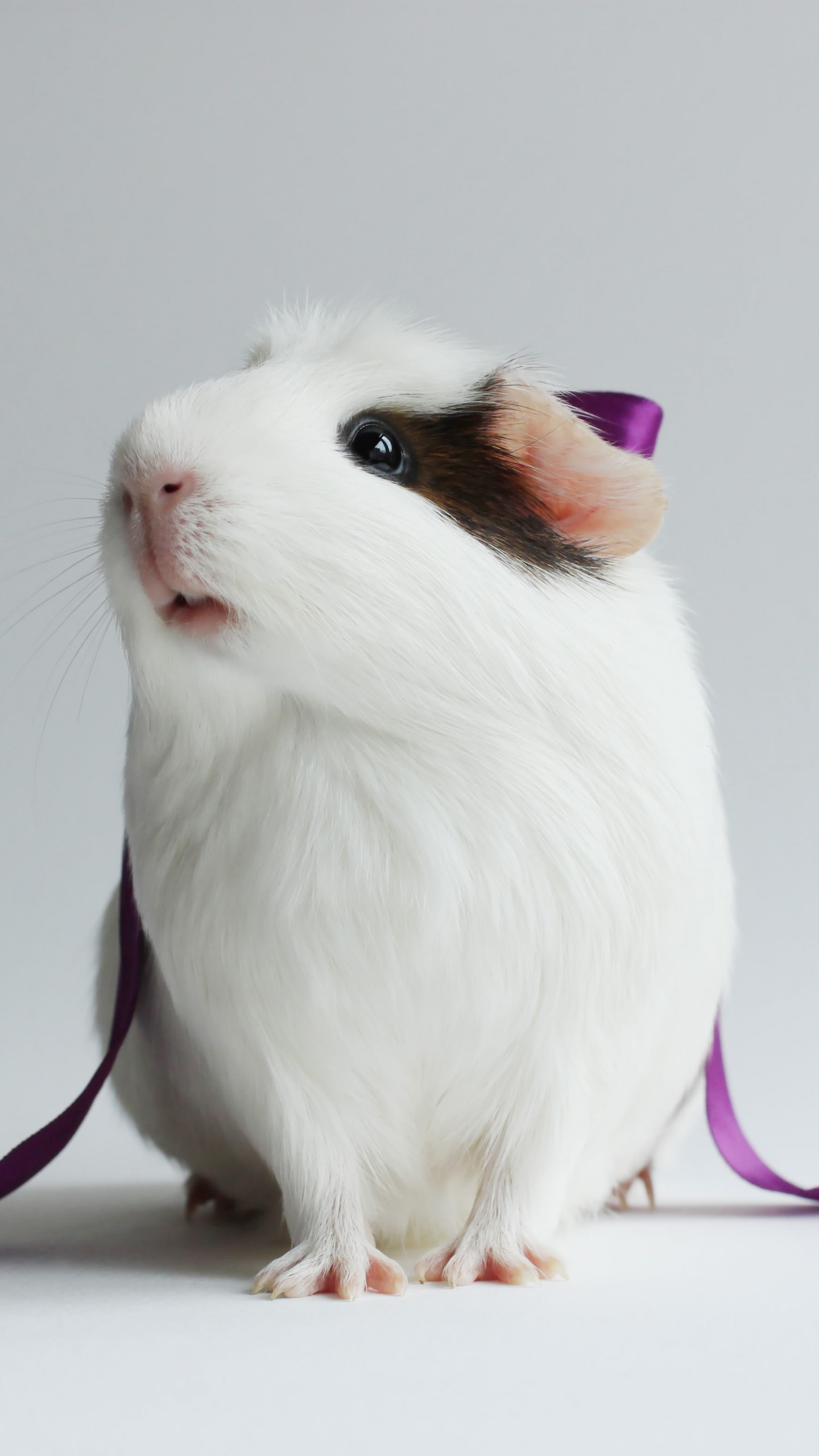 Wallpaper Hamster Cute Hamster White Close Up Purple