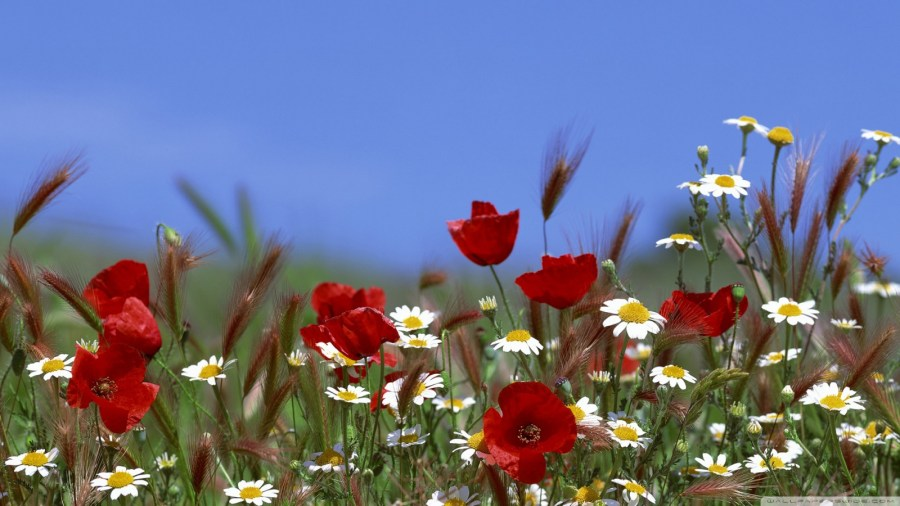 Field Of Flowers Summer        4K HD Desktop Wallpaper for 4K Ultra HD TV HD 16 9