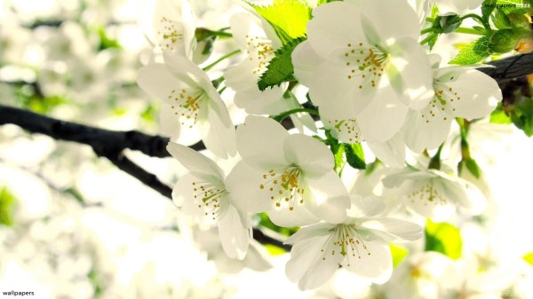 White Flower Wallpaper ·① WallpaperTag