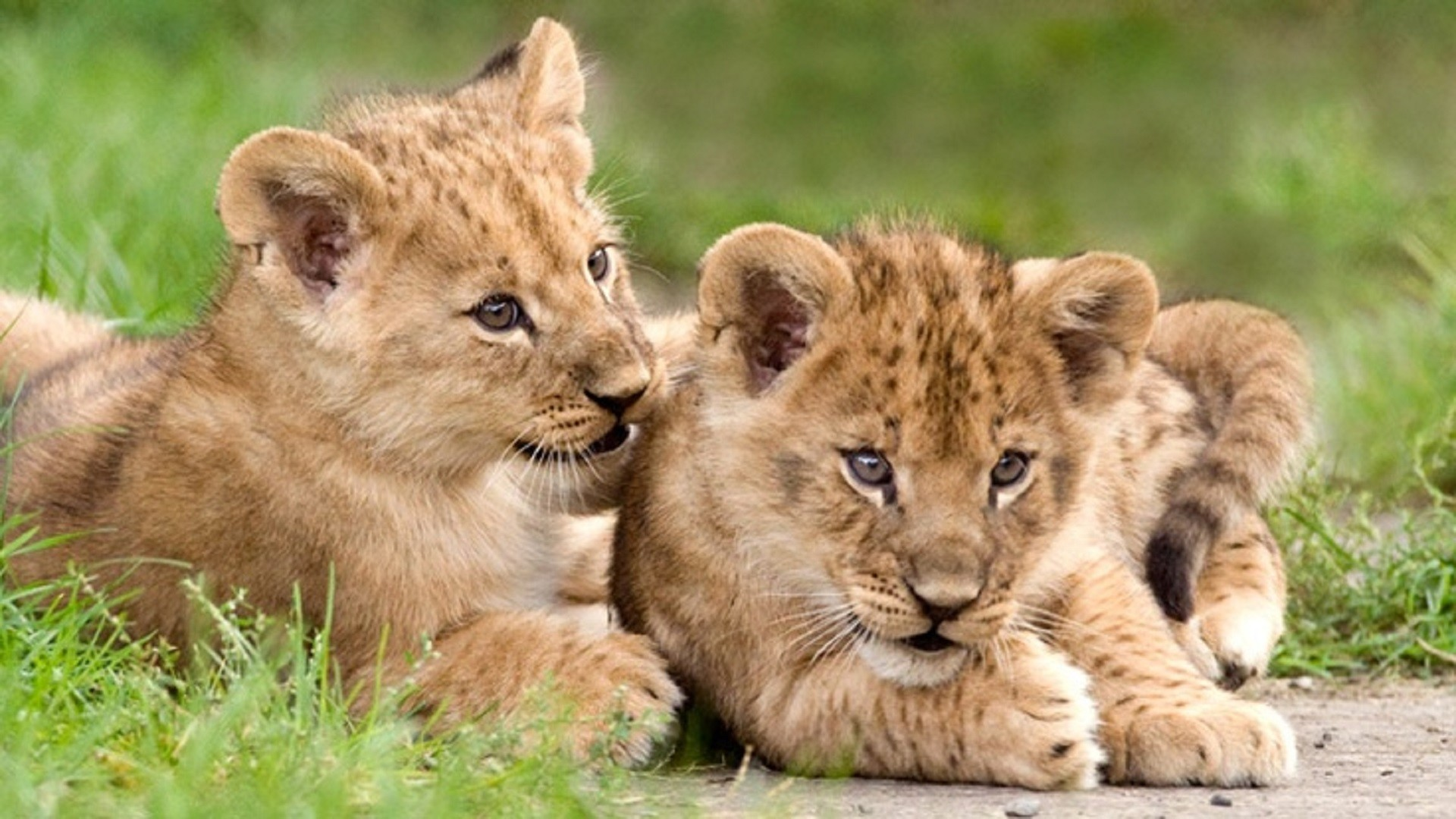 Lion Cubs Wallpaper Wallpapertag