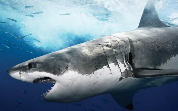 Great White Shark Wallpaper HD 183 WallpaperTag
