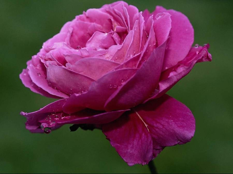 Purple Rose Flower Wallpapers All Flowers Send Flowers Comments