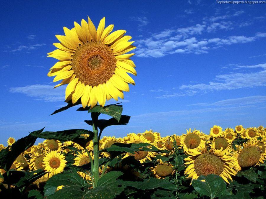 Big Sunflower In Sunflowers Field HD Wallpaper For Your Desktop