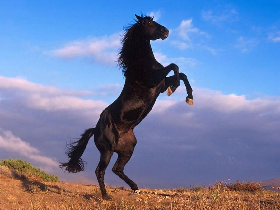 Free Download Black Horse Stand Photo Picture HD Wallpaper