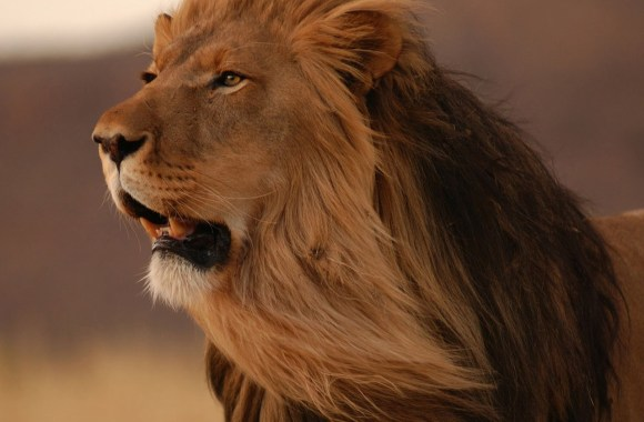 Lion Photos Animals King Of Jungle HD Wallpapers