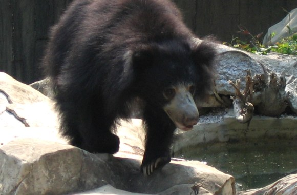 Sloth Bear Animal Photos Pictures Free Download