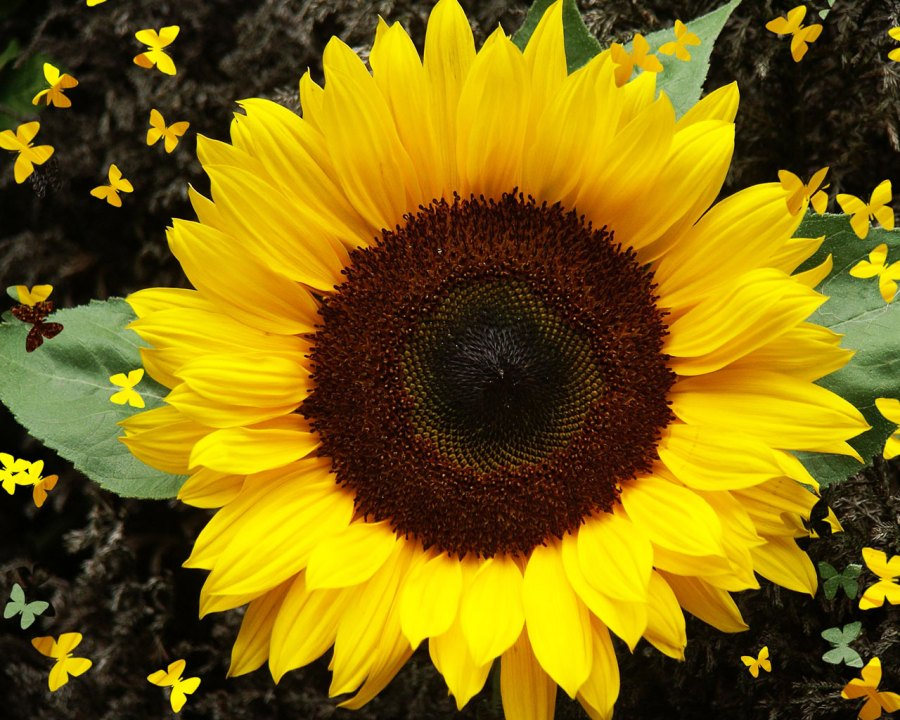 Awesome Sunflower And Yellow Butterflys Picture Image Wallpaper