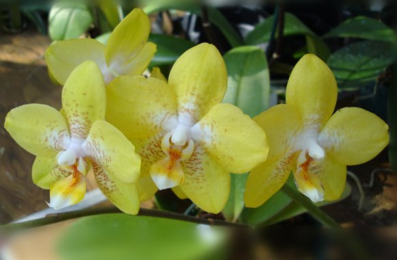 Beautiful Yellow Orchids Flower Picture HD Wallpaper