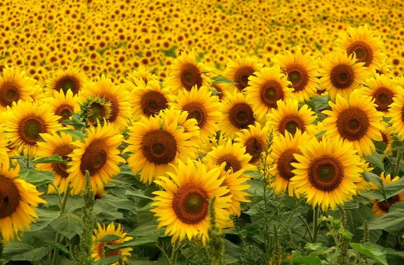 Wonderful Sunflowers Photo Picture Image Gallery