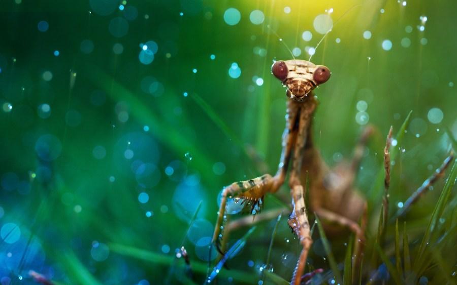 Awesome Praying Mantis Animal Macro Photography HD Wallpaper