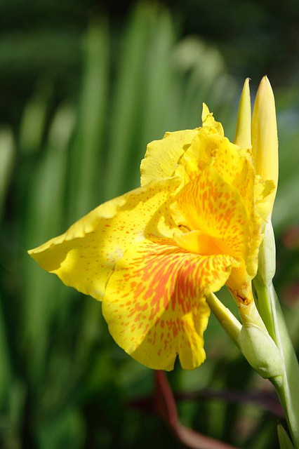 Canna Lily Flowers Photos Pictures Images HD Wallpapers Gallery