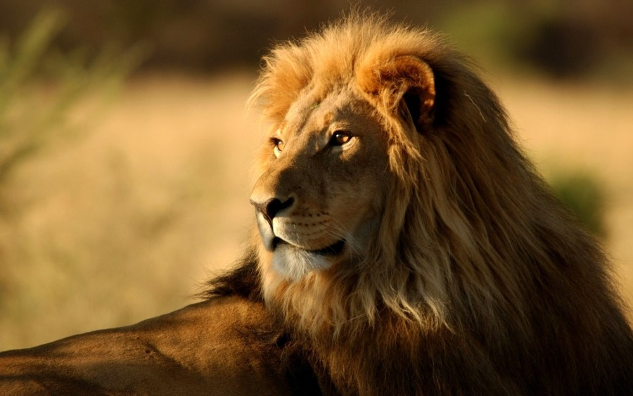 Lion Animals HD Wallpaper Background Desktop Photo Picture Gallery