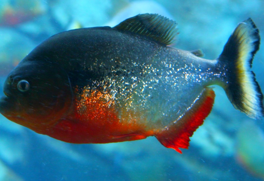 Piranha Fish Animal Predator HD Wallpaper Photo Picture Free Download