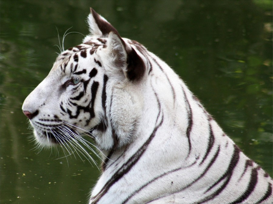 Beautiful Tiger With White Skin And Black Line Photo HD Wallpaper Widescreen