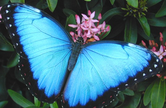 Beautiful Blue Butterfly Animal Photo Picture HD Wallpaper Widescreen