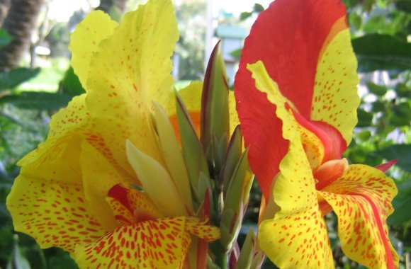 Beautiful Canna Liliy Flower Yellow And Red Color Photo Picture