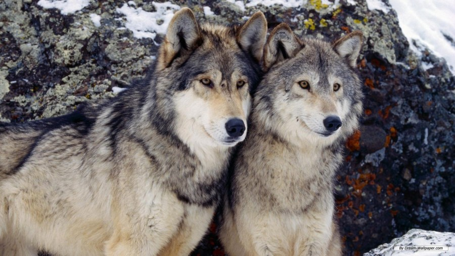 Free Download Wolf Animal Photo Picture HD Wallpaper For Your Notebook