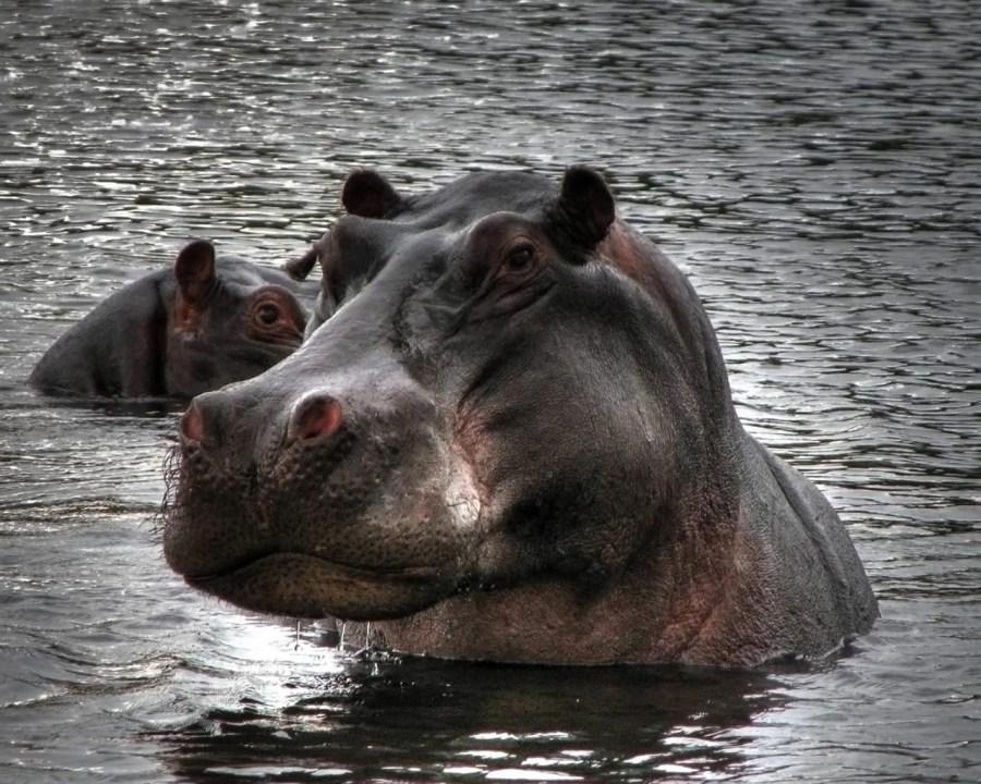 Big Animal Hippopotamus Photo Picture With High Resolution
