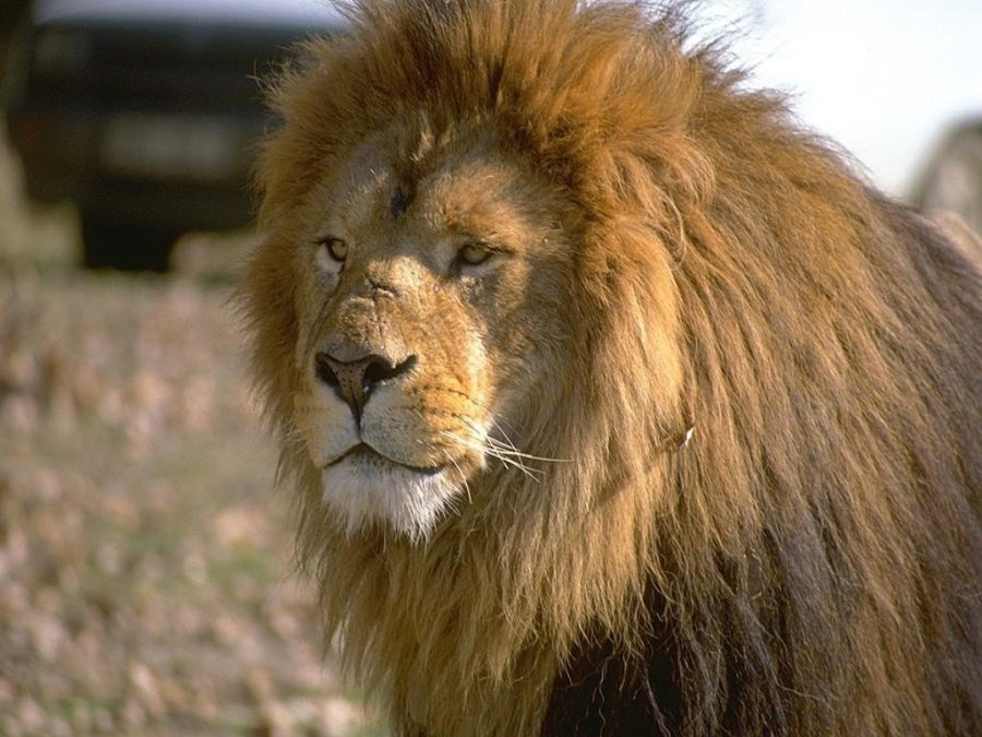 Lion Animal Photos Lion Animals Pictures Gallery Free Download