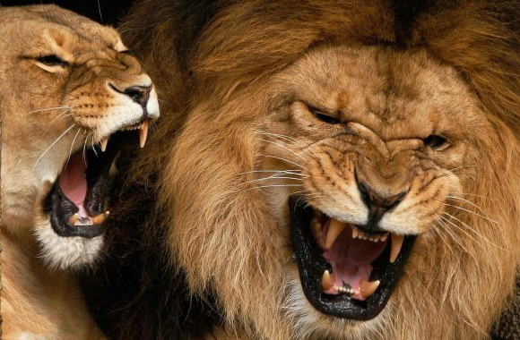 Animal Free Download Roaring Animal Lions Wallpapers Photos Pictures