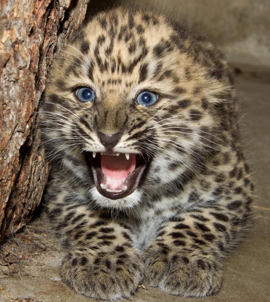 leopard-baby