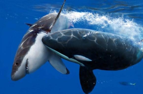 Killer Whale and Shark HD Wallpaper