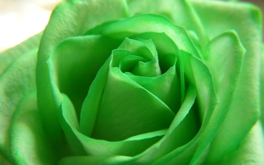 Green Rose HD Wallpaper