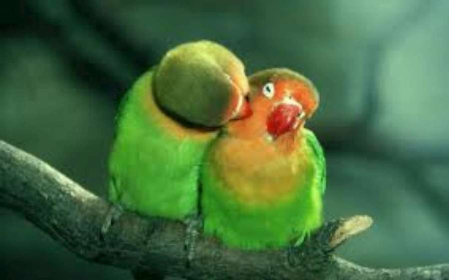 Peach Faced Love Birds-1920