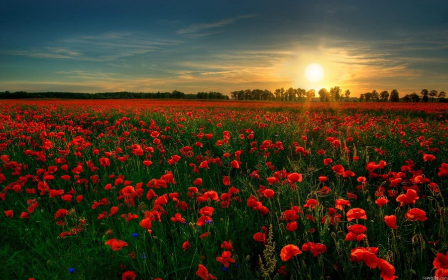Red Flowers with Sunset