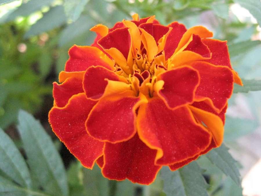 orange flowers-1920
