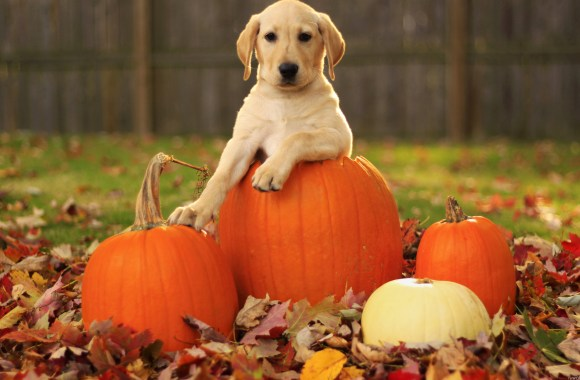 Pumpkins and Puppy HD Wallpaper