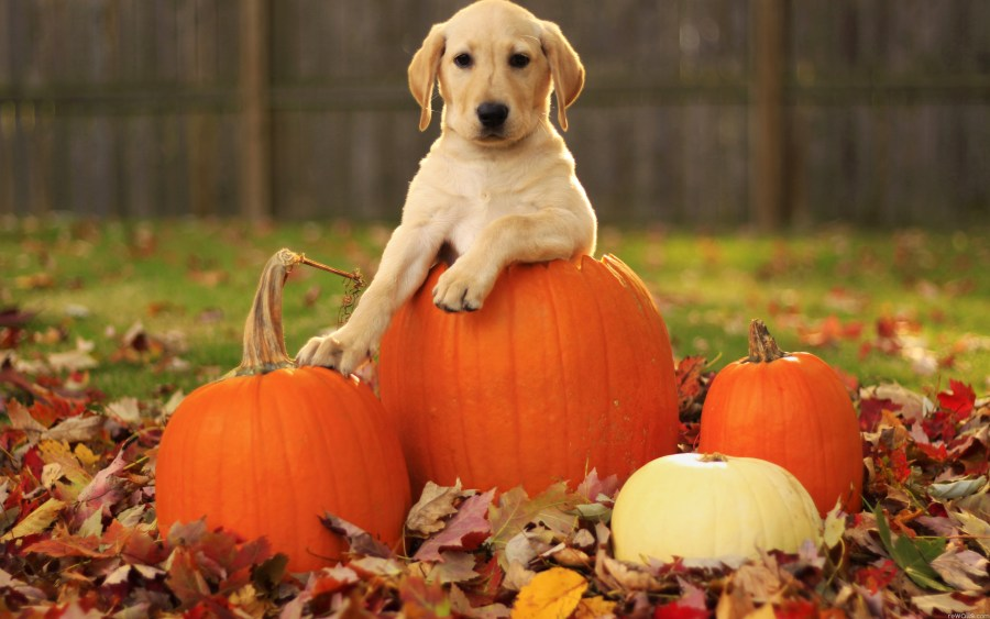 pumkins with puppy