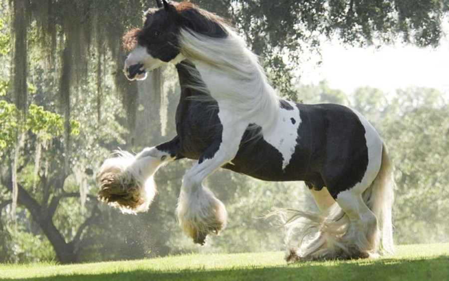 Clyesdale Horse