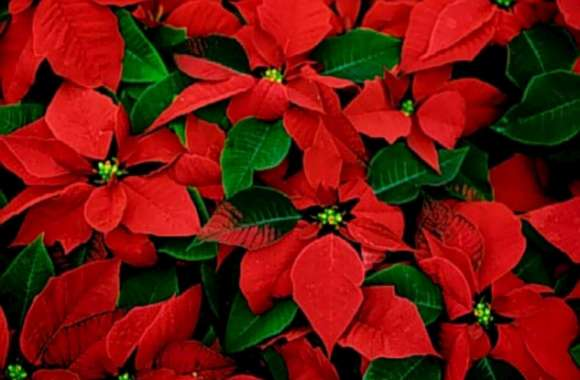 Poinsettias HD Wallpaper