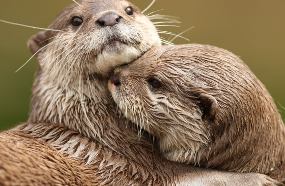 Cuddling Otters HD Wallpaper