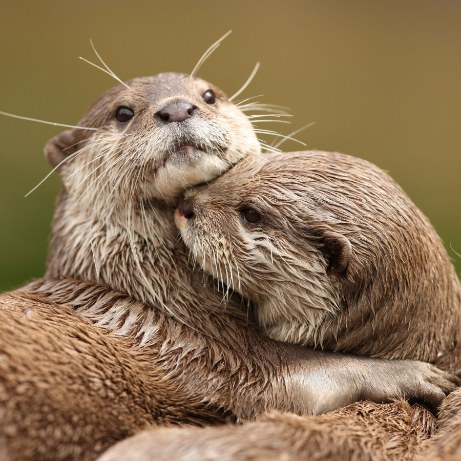 Cuddling Otters HD Wallpaper by Wallsev.com