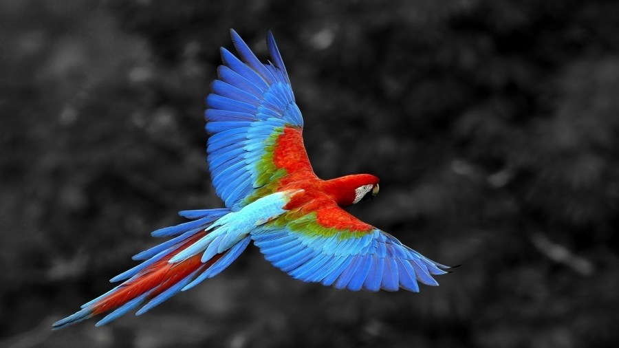 Macaw Parrot in Flight HD Wallpaper by Wallsev.com
