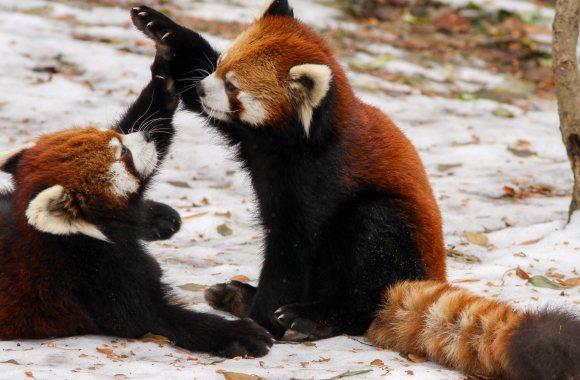 Red Pandas Playing HD Wallpaper