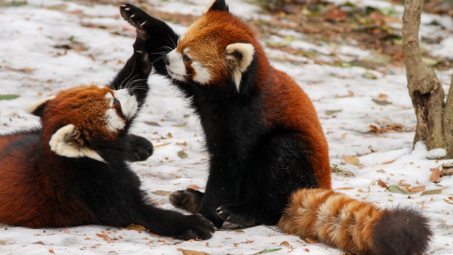 Red Pandas Playing HD Wallpaper by Wallsev.com