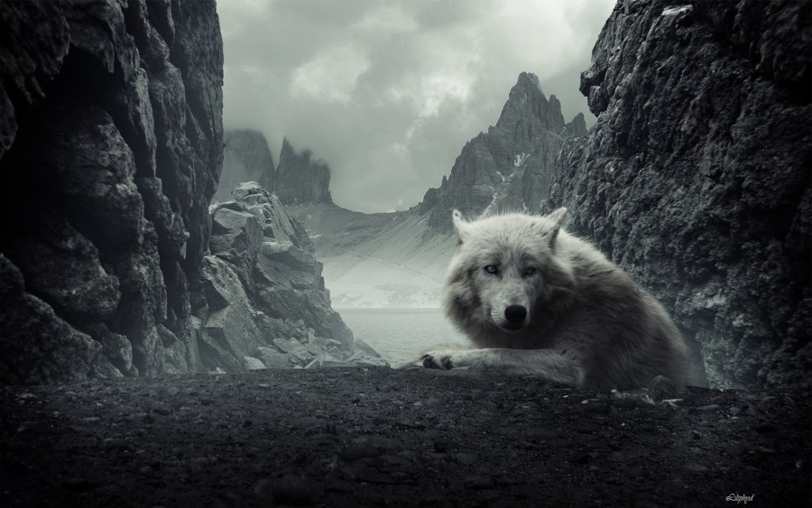Wolf resting in the Hills