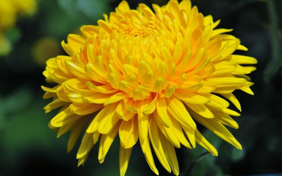 Yellow Chrysanthemum HD Wallpaper by Wallsev.com