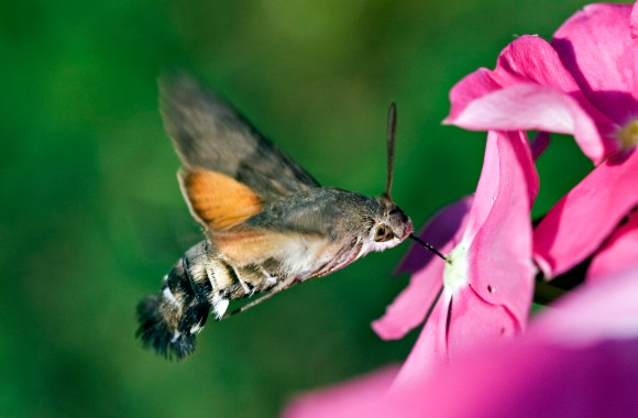 Hummingbird Hawk-Moth HD Wallpaper