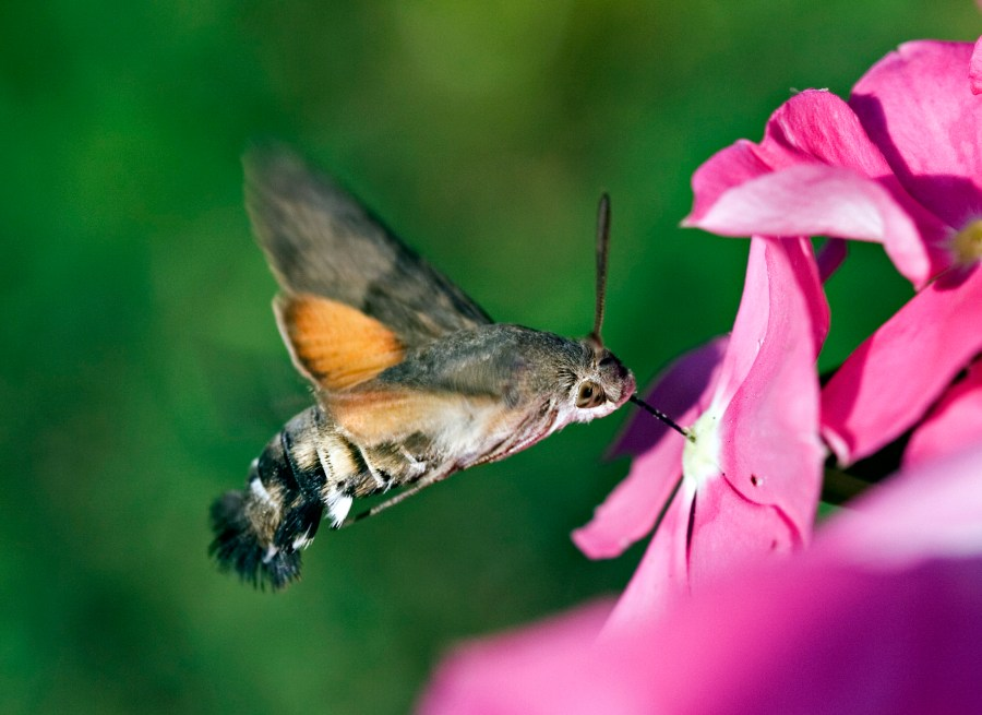 Hummingbird Hawk-Moth HD Wallpaper by Wallsev.com