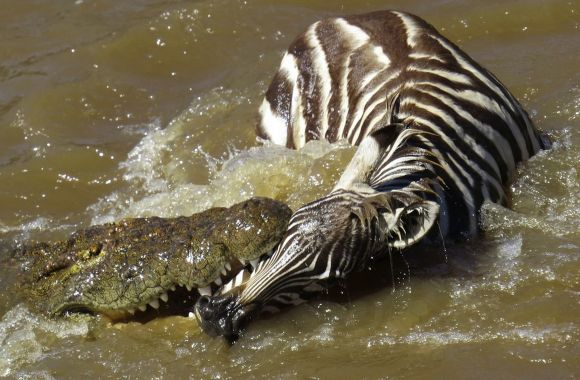 Crocodile Feasting on Zebra HD Wallpaper