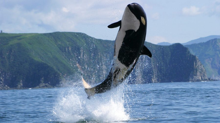 Killer Whale HD Wallpaper by Wallsev.com