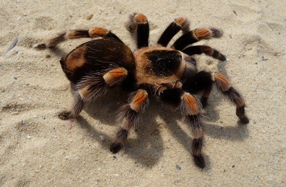 Tarantula HD Wallpaper